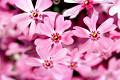 Moss_pink