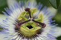 Passion_flower