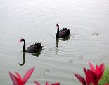 Swan_black