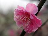 Cherry_pink