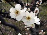 Cherry_white