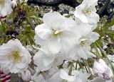 Sakura_white