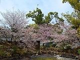 Sakura1_20200410150401