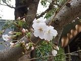 Sakura1_20210325113701