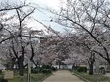 Sakura1_20210326065501