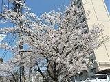 Sakura1_20210403210601