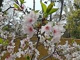 Sakura2_20200410150401