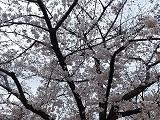 Sakura2_20210326065501