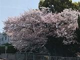 Sakura2_20210403210601