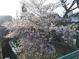 Sakura2_20210403211001