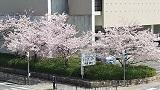 Sakura3_20210403210601