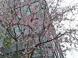 Sakura_20200328230301