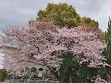 Sakura_20200402150201
