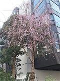 Sakura_20210318173901