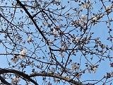 Sakura_20210321235301